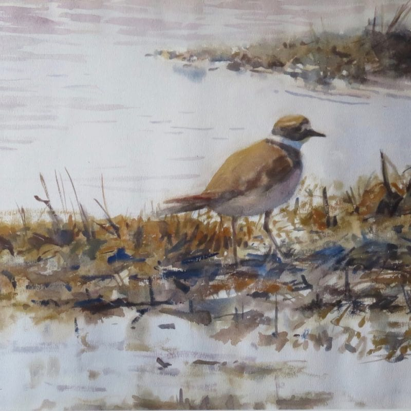 Semi-Palmated Piping Plover by Douglas Smith